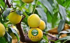 今年夏天哪儿都不去,就到郴州桂东摘黄桃!